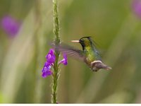 Black-crested Coquette - Lophornis helenae