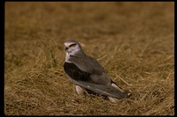 : Elanus caeruleus; Black-shouldered Kite
