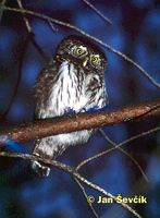 Photo of kulíšek nejmenší, Pygmy Owl, Sperlingskauz, Glaucidium passerinum.