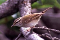 Sakhalin Leaf Warbler or Eastern Pale-legged Leaf Warbler (Phylloscopus borealoides)