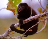 photograph of black howler monkey : Alouatta caraya