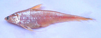 Coilia neglecta, Neglected grenadier anchovy: fisheries