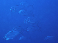 Ulua mentalis, Longrakered trevally: fisheries, gamefish