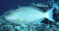 Hipposcarus harid, Candelamoa parrotfish: fisheries, aquarium
