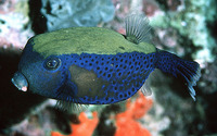 Ostracion cyanurus, Bluetail trunkfish: