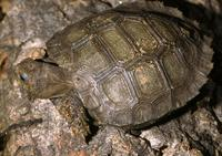Image of: Manouria emys (Asian brown tortoise)