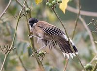 White-cheeked Laughingthrush - Garrulax vassali