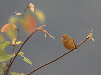 Summer Tanager (Piranga rubra) photo