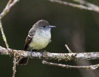 Pale-edged Flycatcher (Myiarchus cephalotes) photo