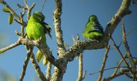 Blue-winged Parrotlet - Forpus xanthopterygius