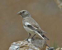 Black-winged Snowfinch - Montifringilla adamsi