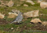 White-winged Diuca-Finch - Diuca speculifera