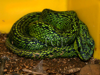 : Bothriechis nigroviridis; Black-speckled Palm Pitviper
