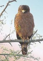 Crested Serpent Eagle » Spilornis cheela