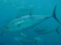 Thunnus thynnus, Northern bluefin tuna: fisheries, aquaculture, gamefish