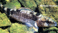 Etheostoma punctulatum, Stippled darter: