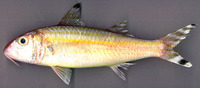 Upeneus vittatus, Yellowstriped goatfish: fisheries, aquarium