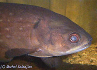 Papyrocranus afer, Reticulate knifefish: fisheries, aquarium