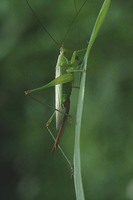 Conocephalus discolor - Long-winged Conehead