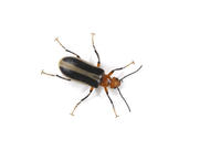Image of: Meloidae (blister beetles)