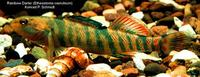 Image of: Etheostoma caeruleum (rainbow darter)