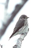 Gray-spotted Flycatcher (Muscicapa griseisticta) photo
