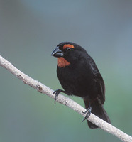 Greater Antillean Bullfinch (Loxigilla violacea) photo