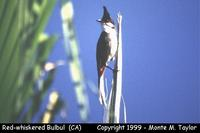 Red-whiskered Bulbul  (California)