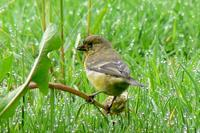 Lesser Goldfinch (2 male, 1 female) - Carduelis psaltria