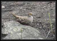 Bare-faced Ground-Dove 1