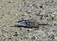 Snowy Plover at Modesto STP 8/11/05 © 2005 Jim Gain