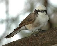 Northern White-crowned Shrike p.480