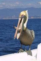 Brown Pelican, Mexico, Acapolco January 2002 © Terry Lunn from the Surfbirds Galleries