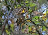 ノドジロガビチョウ White-throated Laughingthrush Garrulax albogularis
