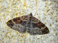 Xanthorhoe spadicearia - Red Twin-spot Carpet