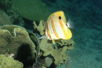 Chelmon rostratus, Copperband butterflyfish: fisheries, aquarium