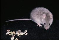 Image of: Zygodontomys brevicauda (short-tailed cane mouse)