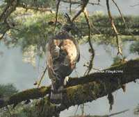 Mountain Hawk Eagle - Spizaetus nipalensis
