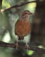 Blue-rumped Pitta - Pitta soror