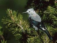 Clark's Nutcracker (Nucifraga columbiana) photo