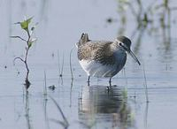 Green Sandpiper (Tringa ochropus) photo