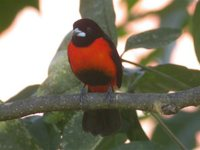 Crimson-backed Tanager - Ramphocelus dimidiatus