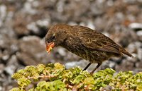 Sharp-beaked Ground-Finch - Geospiza difficilis