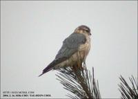 Merlin Falco columbarius 쇠황조롱이