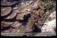: Gymnothorax prasinus; Green Moray;