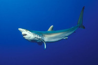 Carcharhinus falciformis, Silky shark: fisheries