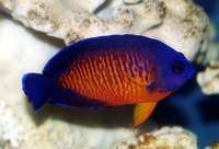 Centropyge bispinosa, Twospined angelfish: fisheries, aquarium