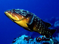Epinephelus marginatus, Dusky grouper: fisheries, gamefish