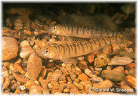 Percina carbonaria, Texas logperch: