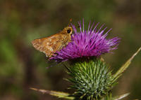 Image of: Polites mystic (long dash skipper)